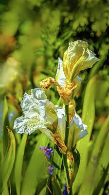 Photograph - White Iris #g4 by Leif Sohlman