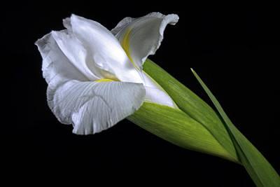 Photograph - White Iris II by Elsa Marie Santoro