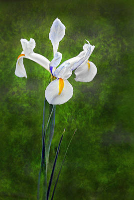 Photograph - White Iris by James Steele