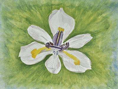 White Iris Original