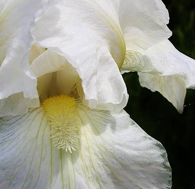 Photograph - White Iris Macro 1 by Bruce Bley