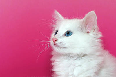 Homeless Pets Photograph - White Kitten On Pink by Sheila Fitzgerald
