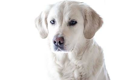 Lab Dog Digital Art - White Lab by Cco