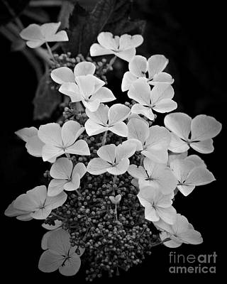Photograph - White Lacecap Hydrangea by Patricia Strand