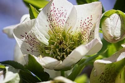 Photograph - White Lenten Rose by Ron Grafe
