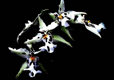 Photograph - White Leopard Orchid by Angela Davies