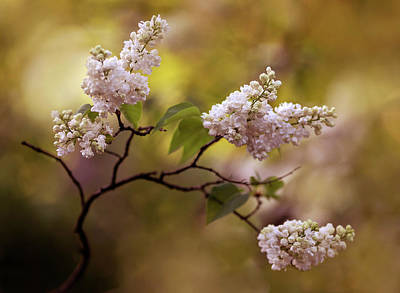 Photograph - White Lilac Flowers by Jaroslaw Blaminsky