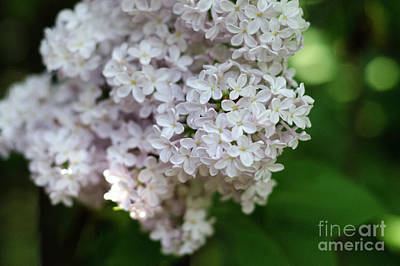 Photograph - White Lilacs by Laurel Best