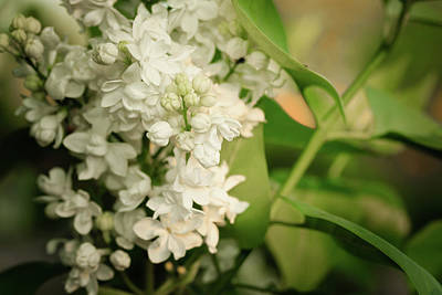 Photograph - White Lilacs On Soft Green Macro Close-up by Joni Eskridge