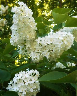 Photograph - White Lilacs by Patricia E Sundik