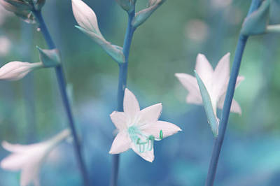 Photograph - White Lilies Of Hosta. Blue by Jenny Rainbow