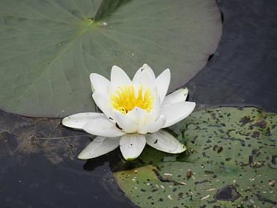 Photograph - White  Lilies by Vesna Martinjak