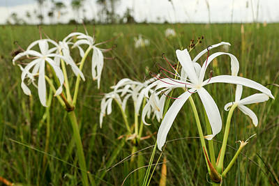 Photograph - White Lily by Christopher L Thomley