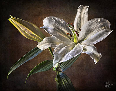 Photograph - White Lily by Endre Balogh