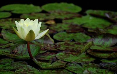Art Print featuring the photograph White Lily In The Pond by Amee Cave