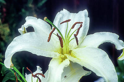 Photograph - White Lily by John Brink