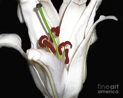 Photograph - White Lily by Merton Allen