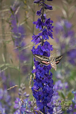 Photograph - White-lined Sphinx Moth Feeding by Marianne Jensen