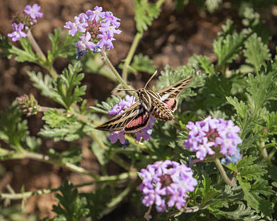 Photograph - White-lined Sphinx Moth-img_381118 by Rosemary Woods-Desert Rose Images
