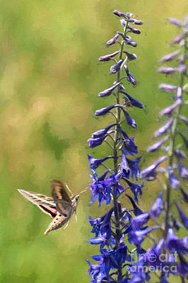 Photograph - White-lined Sphinx Moth On Delphinium by Marianne Jensen