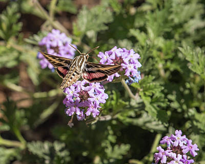 Photograph - White-lined Sphinx Moth-img_380318 by Rosemary Woods-Desert Rose Images