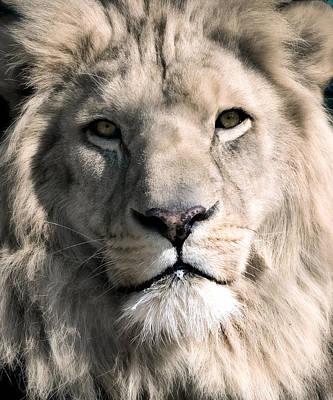 Panthera Photograph - White Lion by Dean Bertoncelj