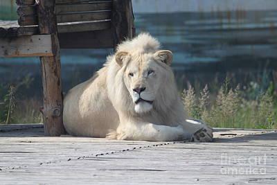 Observer Photograph - White Lion by Evgeny Pisarev