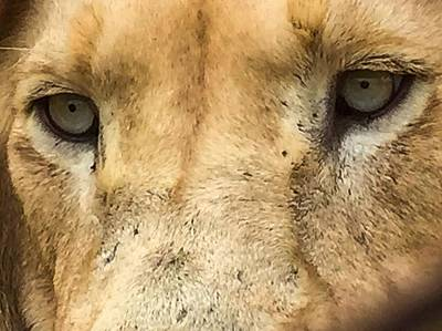 Photograph - White Lion Eyes by Alistair Lyne