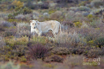 Photograph - White Lioness by Jean-Luc Baron