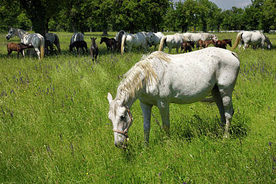 Photograph - White Lipizzaner Mare Horse Breed With Dark Foals Grazing In A M by Reimar Gaertner