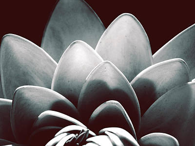 White Lotus At Dawn Art Print