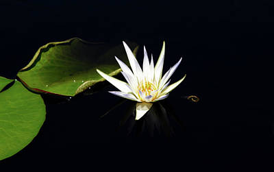 Photograph - White Lotus Blossom And Lily Pads 2924 H_2 by Steven Ward