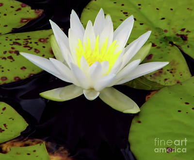 Photograph - White Lotus by D Hackett