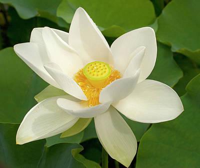 Lotus Leaves Photograph - White Lotus by Elvira Butler