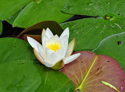 Photograph - White Lotus Flower And Lily Pad by Glenn Gordon