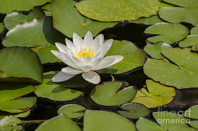 Photograph - White Lotus Flower by JT Lewis