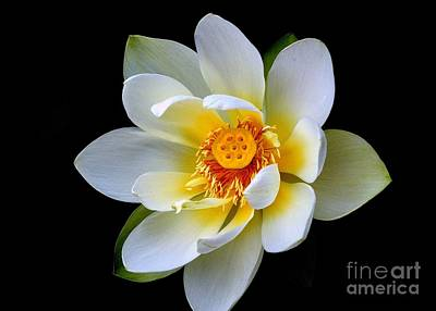 Photograph - White Lotus Flower by Lisa L Silva