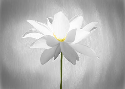 Floral Photograph - White Lotus Flower by Steven Michael