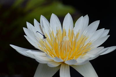 Photograph - White Lotus With Damselfly by Maria Urso