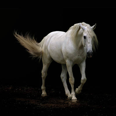 Black Background Photograph - White Lusitano Horse Walking by Christiana Stawski