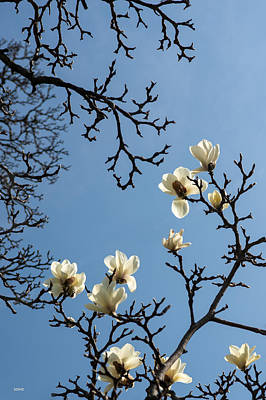 Photograph - White Magnolia by Dana Sohr