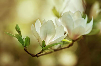 Photograph - White Magnolia Flowers by Jaroslaw Blaminsky