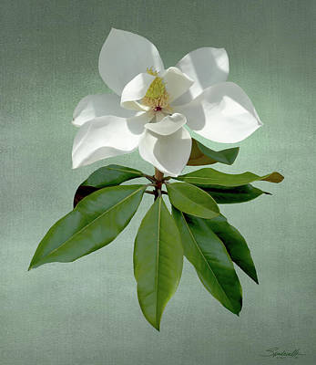 Digital Art - White Magnolia by M Spadecaller