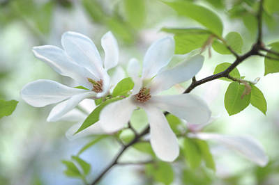 Photograph - White Magnolia Spring Bloom by Jenny Rainbow