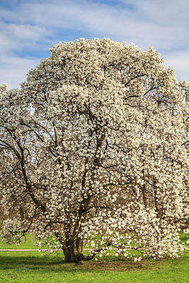 Photograph - White Magnolia Tree In Full Bloom by Joni Eskridge