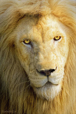 Photograph - White Male Lion by LeeAnn McLaneGoetz McLaneGoetzStudioLLCcom