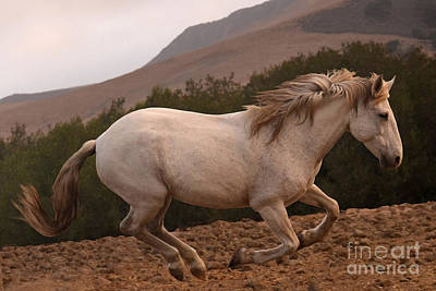 Photograph - White Mare Gallops #1 -  Close Up Brighter by Heather Kirk