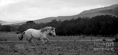 Photograph - White Mare Gallops #1 - Panoramic Black And White by Heather Kirk