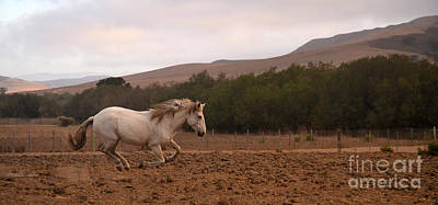 Photograph - White Mare Gallops #1 - Panoramic Brighter by Heather Kirk