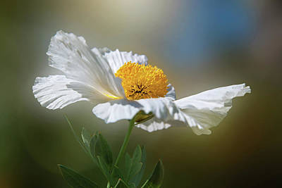 Photograph - White Matilija Poppy In Porter Ranch by Lynn Bauer